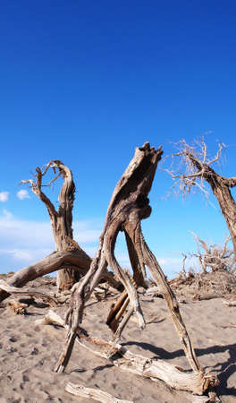 Landscape of dead trees in the desert with blue sky as background photo