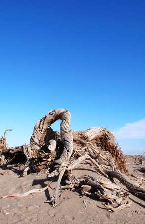 Landscape of dead trees in the desert with blue sky as background Stock Photo - 8518832