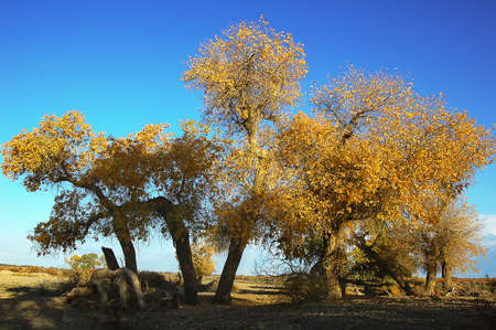 Landscape of golden trees in autumn with blue sky as background Stock Photo - 8547476