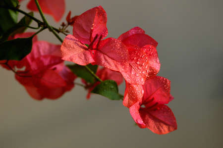Blooming red bougainvillea spectabilis wind with dewdrops in the morning photo