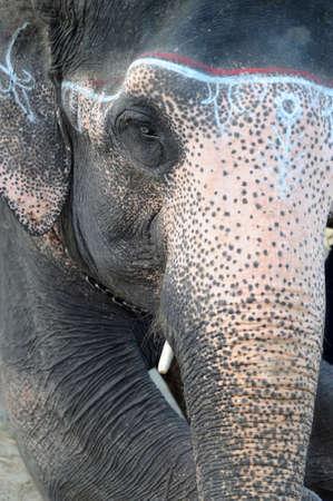Portrait of an Asian elephant in Nepal Stock Photo - 8547472