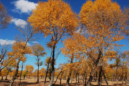 Landscape of golden trees with blue skies as backgrounds in autumn Stock Photo - 8547478