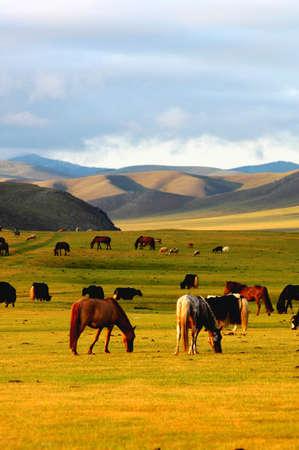 Landscape of horses on the grasslands of Mongolia photo