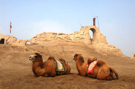 ancient relics: Camels sitting at the relics of an ancient castle Stock Photo