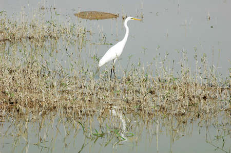 Scenery of a white heron bird at a lake photo