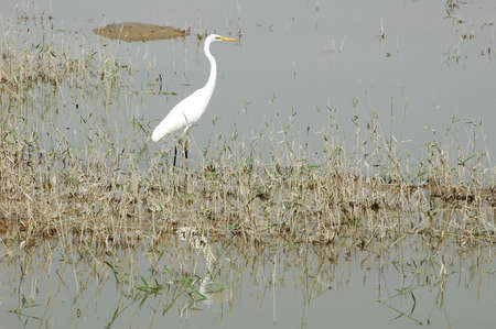 Scenery of a white heron bird at a lake photo