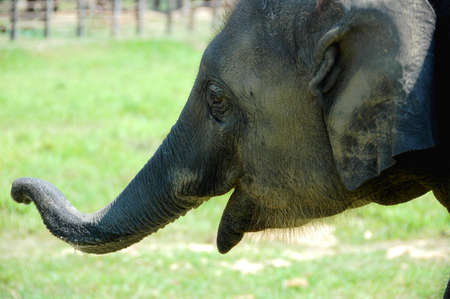 Closeup view of Asian elephant in Nepal photo