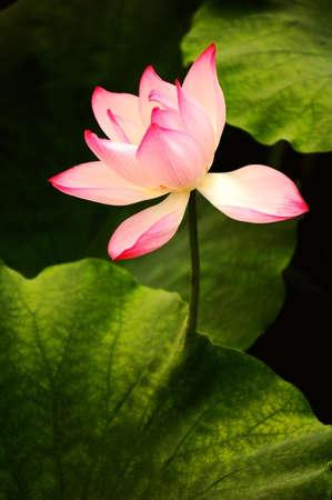Closeup view of blooming pink lotus flower photo