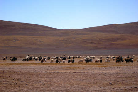 Sheep and yaks in the highlands of Tibet Stock Photo - 8724089