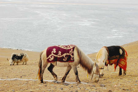 Landscape of horses and yak on meadow in Tibet photo