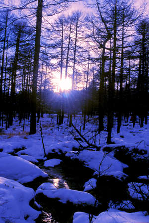 Landscape of snowy forest in winter morning photo