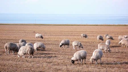 Scenery of sheep on grassland in autumn Stock Photo - 9053618