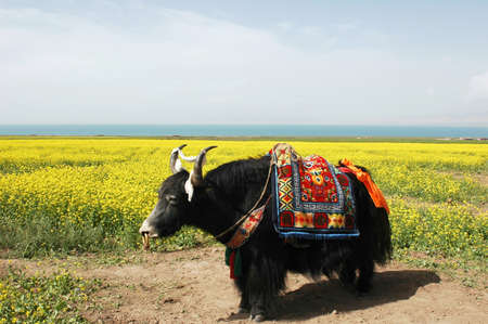 Landscape of a black yak standing in the blooming rapeseed fields Stock Photo - 9133424