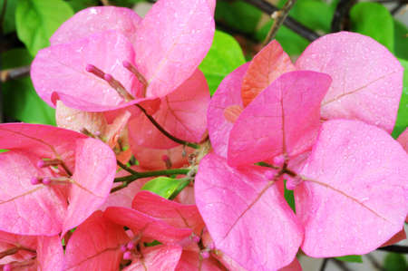 Blooming pink bougainvillea spectabilis wind with dewdrops in the morning photo