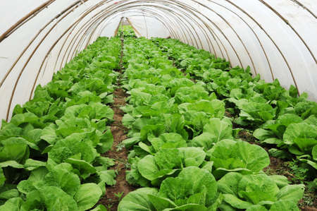 asian produce: Organic farming, celery cabbage growing in greenhouse Stock Photo