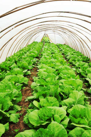 Organic farming, celery cabbage growing in greenhouse photo