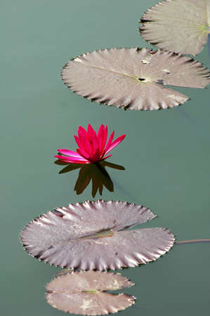Blooming lotus flower with leaves in a pond photo