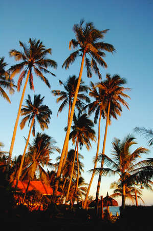Landscape of coconut trees in the golden sunlight at sunrise photo