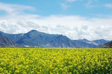Landscape of blooming rapeseed fields at the foot of mountains Stock Photo - 9943714