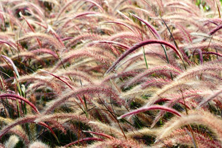 bristle: Red Bristle grass Herb