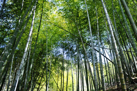 Bottom view of fresh green bamboo forest in the summer photo