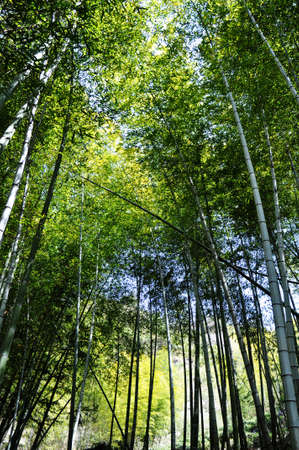 Bottom view of fresh green bamboo forest in the summer Stock Photo