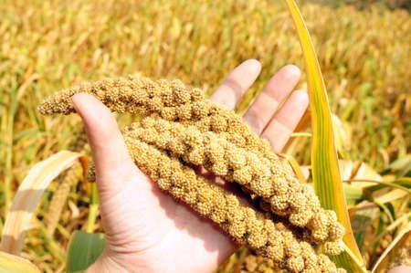 Ripe millet crops in the fields in autumn photo