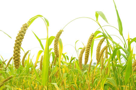 corn stalk: Ripe millet crops in the fields in autumn