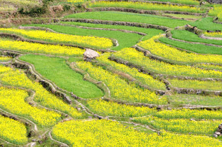 mustard field: Blooming rapeseed fields in the spring