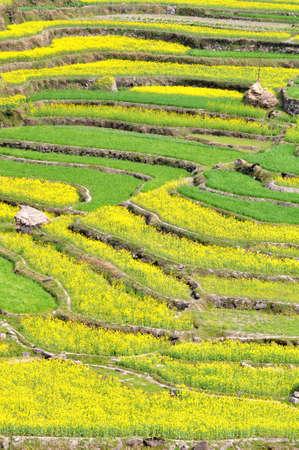 rapeseed: Blooming rapeseed fields in the spring