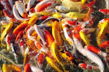 Colorful fancy carp in groups