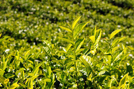 Tea plantations under the sun in the morning photo