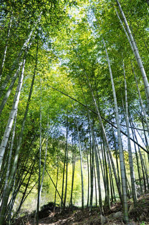 Landscape of fresh green bamboo woods in the spring photo