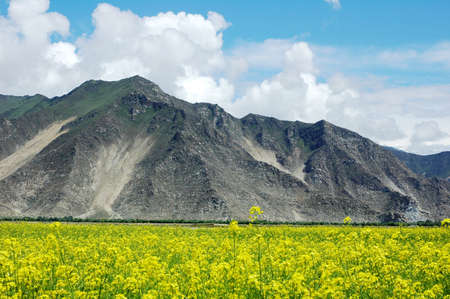 non cultivated: Landscape of blooming rapeseed fields at the foot of mountains