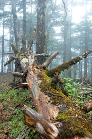 misty forest: Landscape of a virgin forest in a foggy morning Stock Photo