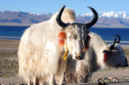 White yaks at the lakeside in the highlands of Tibet Stock Photo