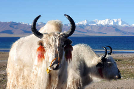 tibet: White yaks at the lakeside in the highlands of Tibet Stock Photo