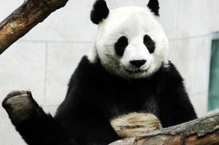 Giant panda in a zoo of Sichuan,China photo