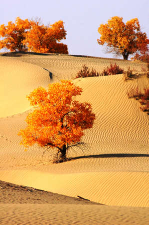Landscape of desert with golden trees in the autumn Stock Photo - 13850552
