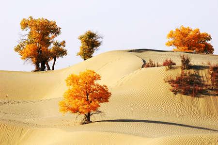 xinjiang: Paysage de désert avec des arbres d'or à l'automne