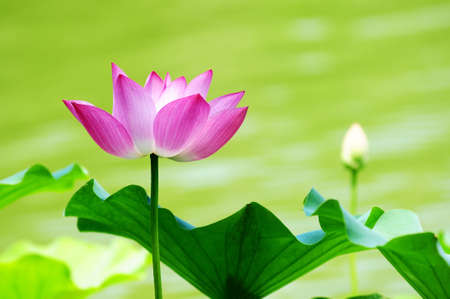 Pink lotus flower blooming in pond in the summer photo