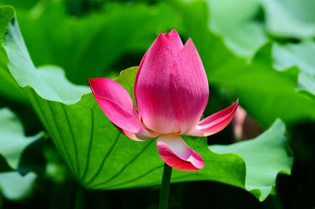china rose: Pink lotus flower blooming in pond in the summer Stock Photo