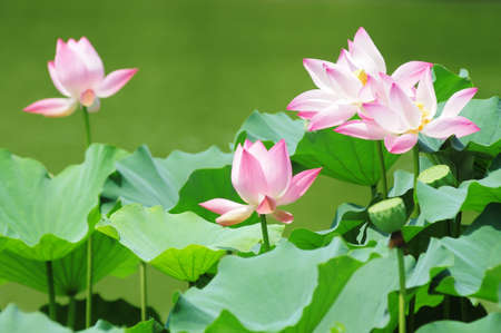 Pink lotus flowers blooming in pond in the summer photo