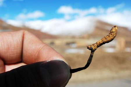 Closeup of Chinese caterpillar fungus in hand