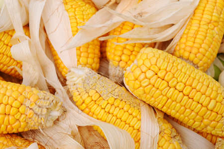 maize cultivation: Golden corn cobs in the autumn