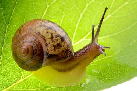 Petit escargot brun sur une feuille verte