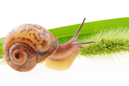 Small brown snail on a green bristle leaf