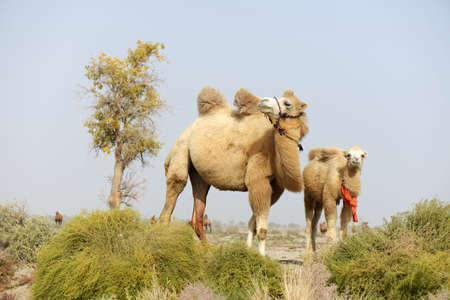 wildness: Camels in the wildness