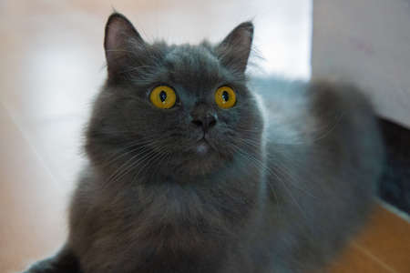 The focus of the persian gray cat face and golden eyes is shocking, afraid, Scare. PET