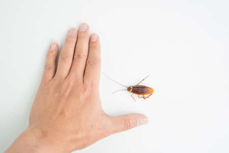 Focus body cockroach on human hand holding isolated on white background. Contagious diseases in the kitchen.